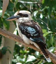 One of the many kookaburras that frequent my house back in Cairns